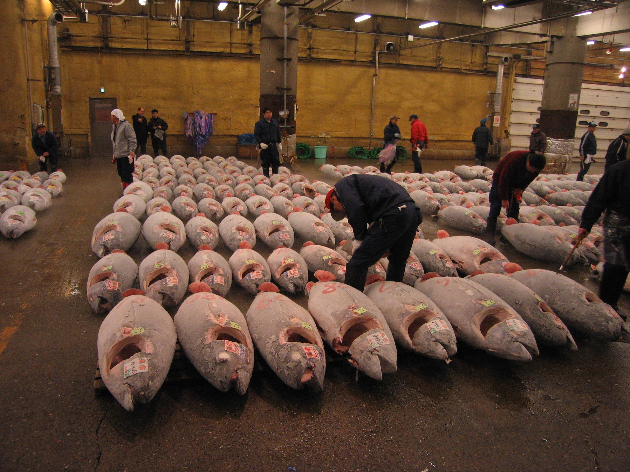 Tuna are caught, frozen, and shipped to the fish market in Japan. They will be auctioned off here, then shipped to the buyer, who might represent a restaurant or a fish supply company that would then sell to the restaurant.This process is repeated daily.