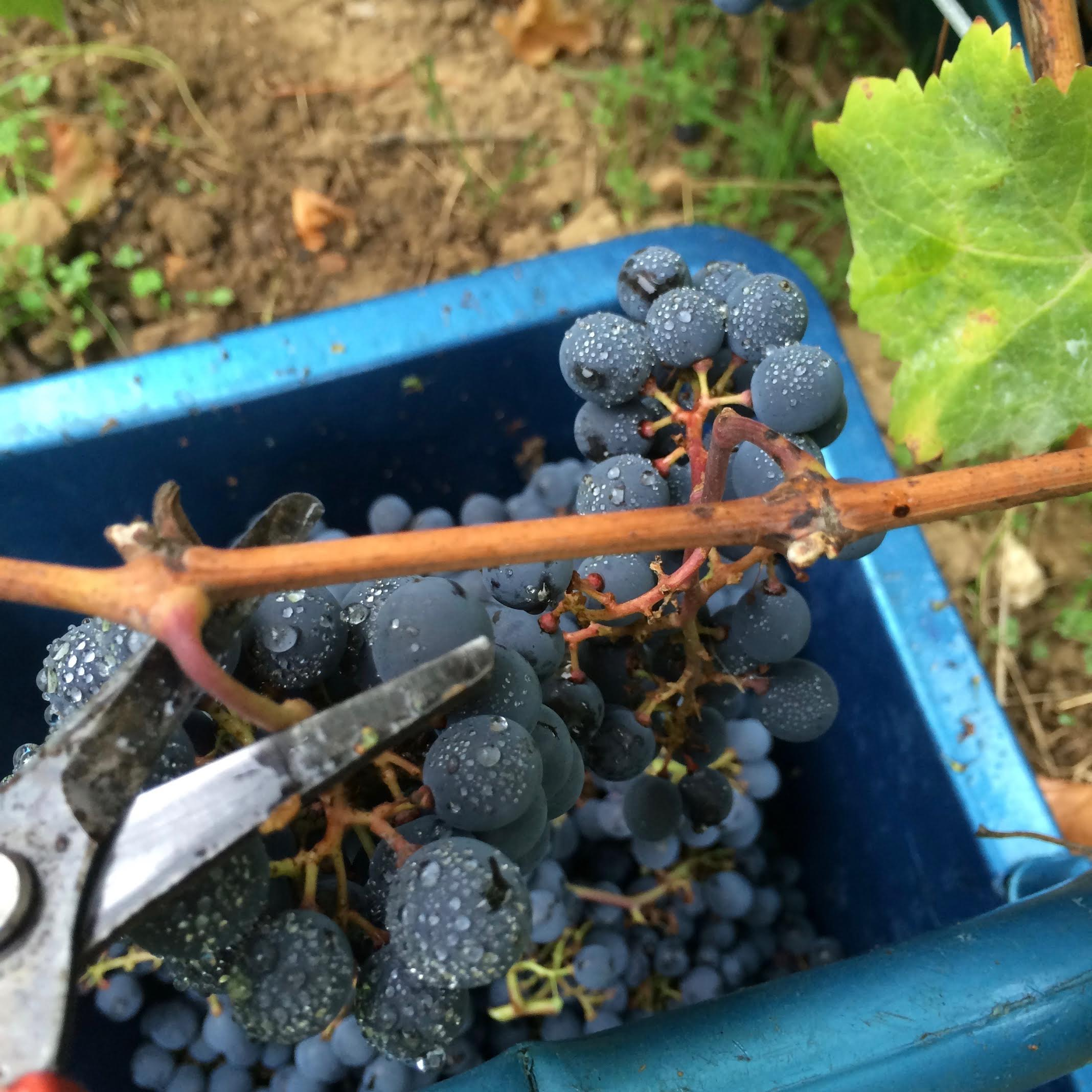 cab franc harvest.jpg