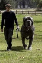Neapolitan mastiff.jpg