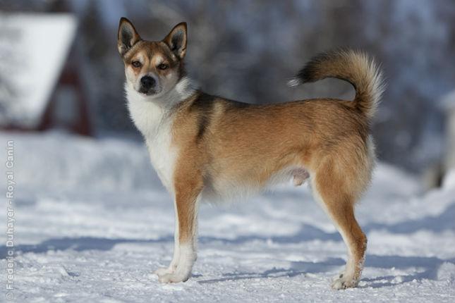 Norweigan Lundhund