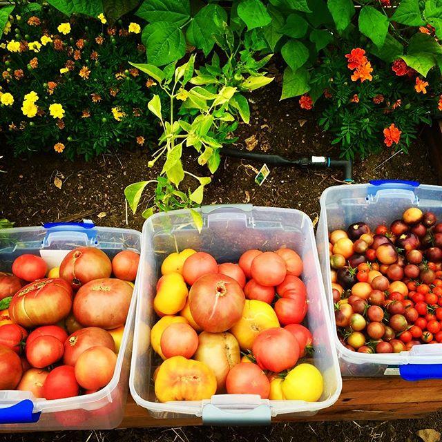 Summer Heirloom Tomato Harvest