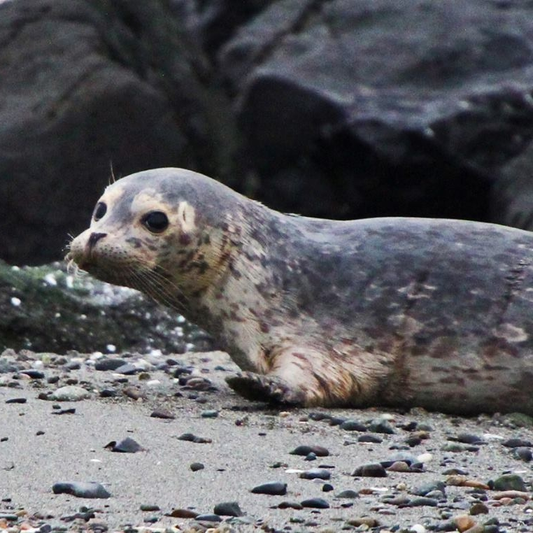 harbor-seal-on-beach