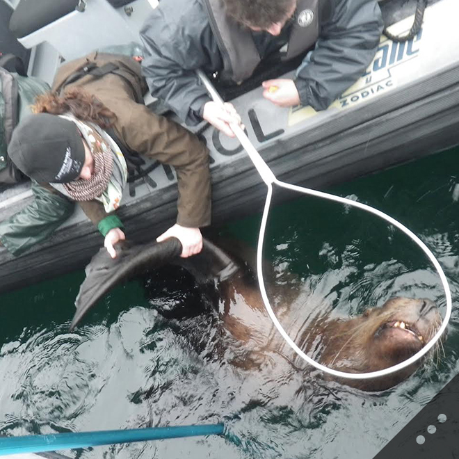 SR3 and Vancouver Aquarium team members remove a packing strap from the neck of a Steller sea lion. Disentanglement activities help to identify dangerous debris and keep it out of the water.
