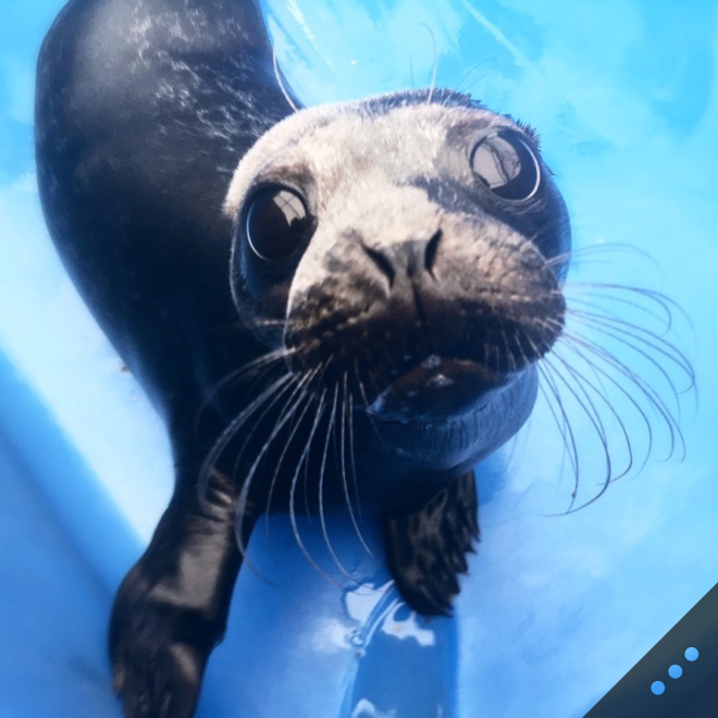 Creating Washington's first marine wildlife hospital to care for native species including seals, sea lions, porpoises, puffins, and more. (Photo credit: Vancouver Aquarium)