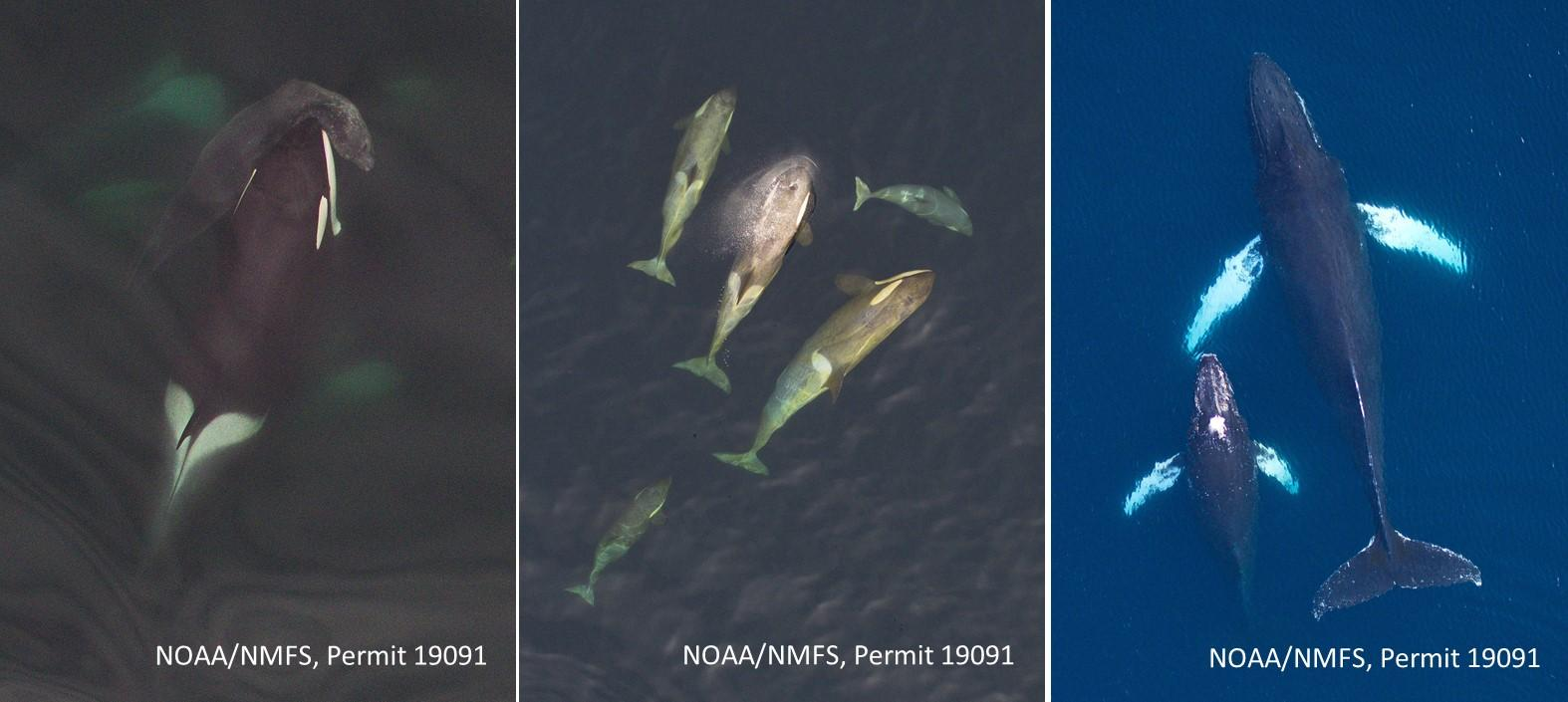Aerial photographs of (left to right)  Type A killer whales, Type B killer whales  and humpback whales around the Antarctic Peninsula. Note an elephant seal in the mouth of a Type A killer whale. Images obtained from >30m (100ft) above the whales using a small unmanned hexacopter. These vertical images are being used to measure size and monitor body condition of these top predators, to assess nutritional health of the marine food web in this rapidly-changing ecosystem.