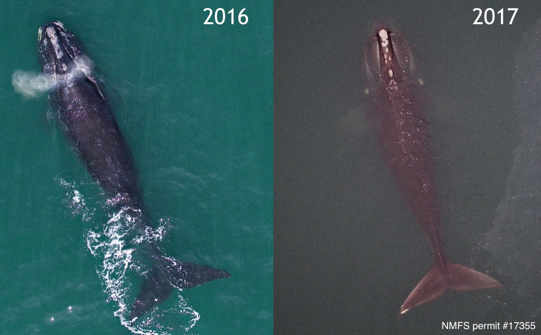 Two aerial photographs of the same adult female North Atlantic right whale, repeatedly imaged in Cape Cod Bay in March 2016 (left) and 2017 (right). Photogrammetry measurements will be used to assess changes in condition and monitor trends in growth over time. Images taken from an unmanned hexacopter >150ft above the whale, with research authorized by NMFS permit #17355.