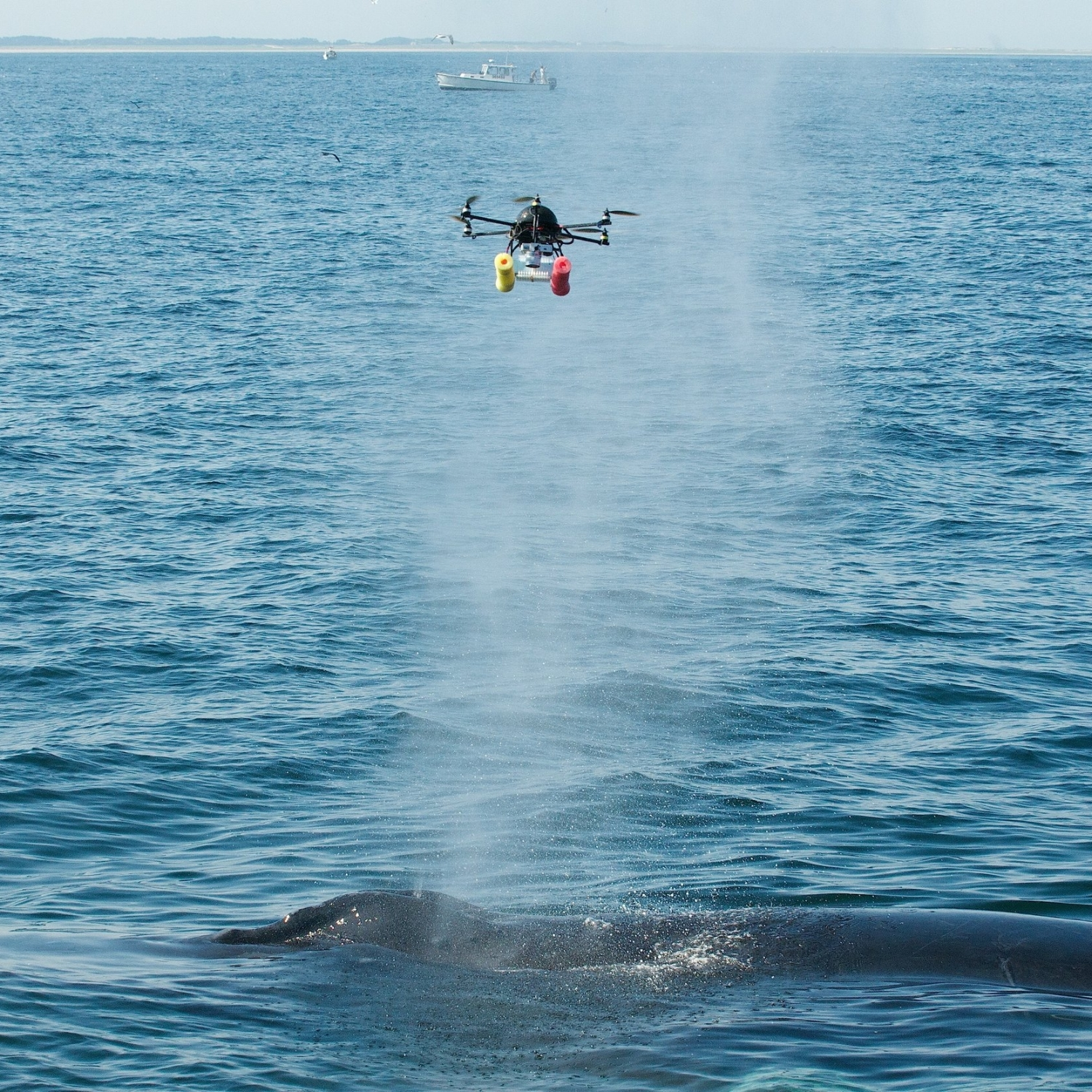 An unmanned hexacopter drone flies through humpback whale expiratory blow, collecting samples. Once collected, we take these samples to the laboratory to conduct microbiological and genetic testing, helping determine whale health status. Research conducted under NOAA permit.
