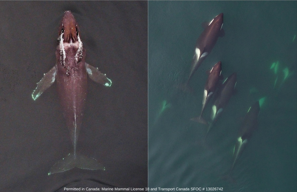 Left: vertical image of a humpback whale, which will be used to compare body condition and health for this species in different feeding areas. Right: vertical image of Northern Resident killer whales, which will be used to compare their growth and body condition to that of endangered Southern Resident killer whales. Images collected using an unmanned hexacopter at altitudes of >100ft above the whales, permitted in Canada under the Species at Risk Act (Marine Mammal License 18) and flight authorizations from Transport Canada (SFOC # 13026742).