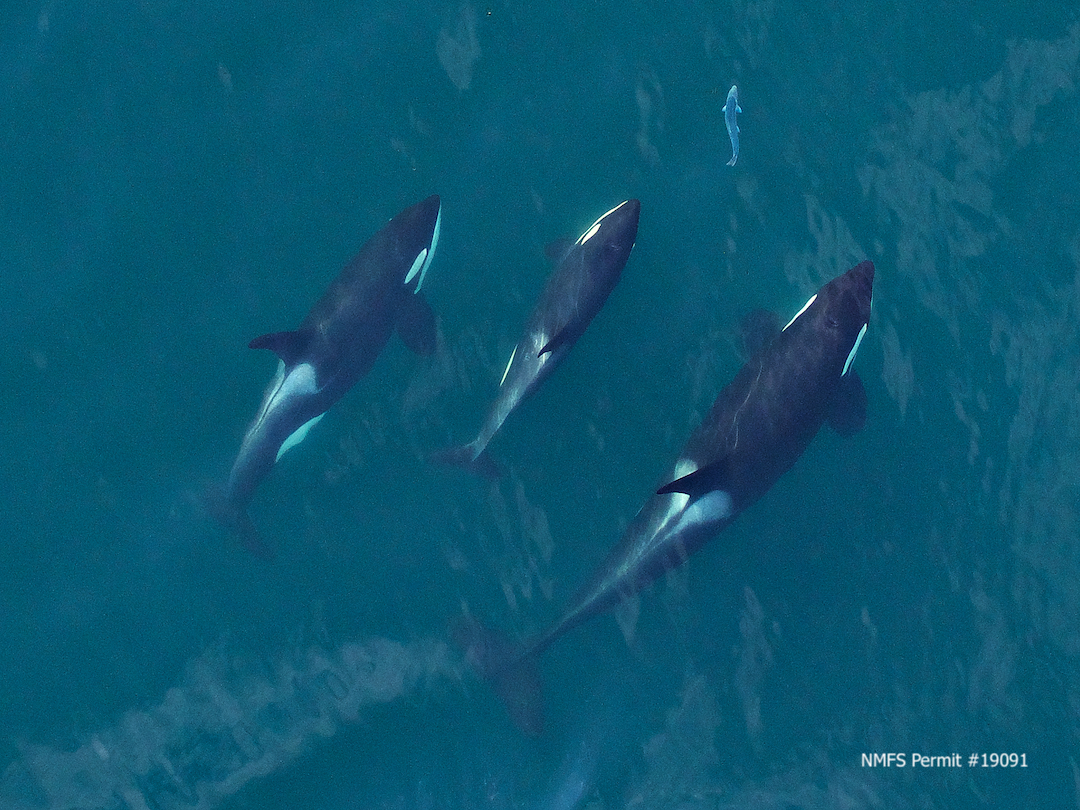 A family group of Southern Resident killer whales chasing a salmon. Image taken from an unmanned hexacopter at >100ft during a research collaboration between NOAA/SWFSC, SR3 and the Coastal Ocean Research Institute. Research authorized by NMFS permit #19091.