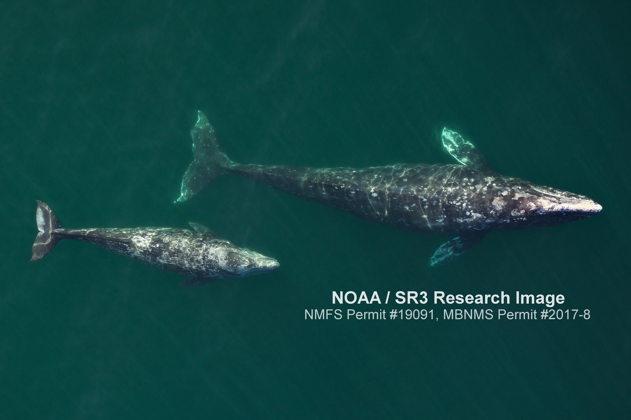 Aerial image of a female/calf gray whale pair as they migrate past Piedras Blancas Lighthouse on the coast of Central California. Image taken from an unmanned octocopter >150ft above the whales, with flights over whales authorized by NMFS permit #19091.