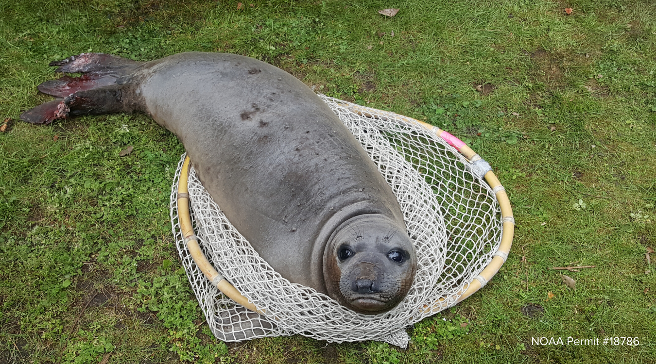 Elephant Seal Pup Treated After Likely Coyote Attack Sr3 Sealife Response Rehabilitation And Research Improving The Health Of Marine Wildlife Download elephant seals png image for free. elephant seal pup treated after likely