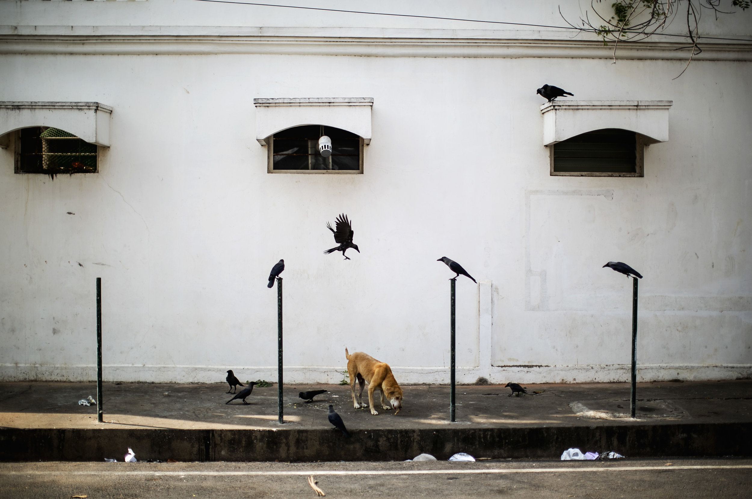 Crow Attack, Pondicherry
