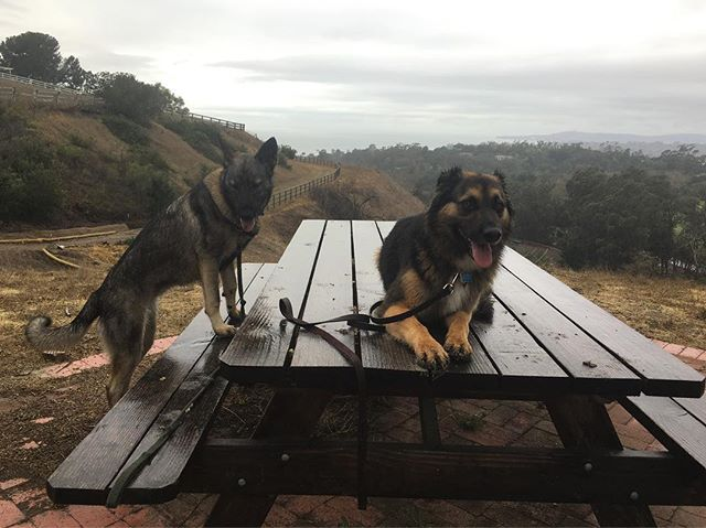 Friends . . . #models #dogmodel #dogs #shepherd #shepherdmix #gsd #gsdofinstagram
