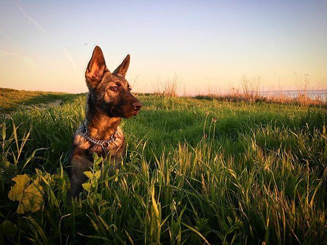 Yala of the jungle 🐺 . . . . . . . #santabarbara #portrait #petportrait #petsofinstagram #petstagram #dogsofinstagram #dog #dogstagram #puppy #puppylove #805 #gsd #gsdhusky #huskymix #huskymixesofinstagram #shepsky