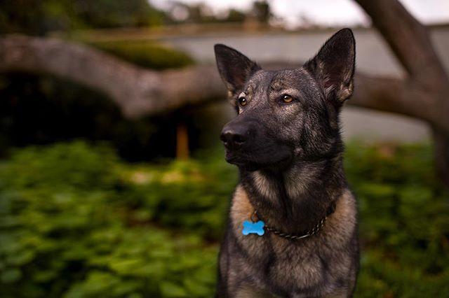 She just wants the treat offscreen. . . . . . #portrait #portraitphotography #dogsofinsta #germanshepherd #gsdmix #huskymix #wolfdog