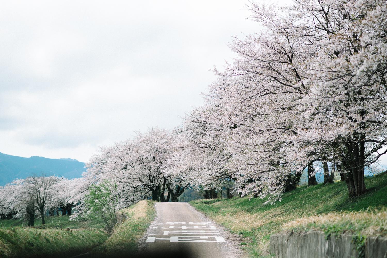 cherry_blossom_prewedding-3.jpg