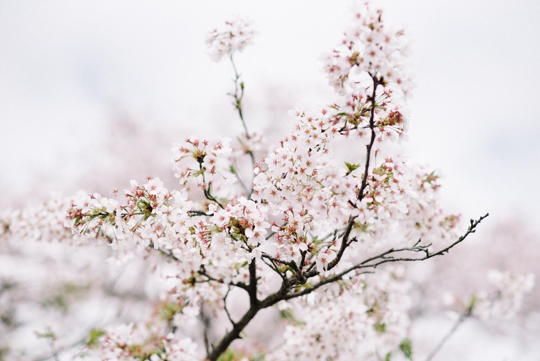 cherry_blossom_prewedding-1.jpg