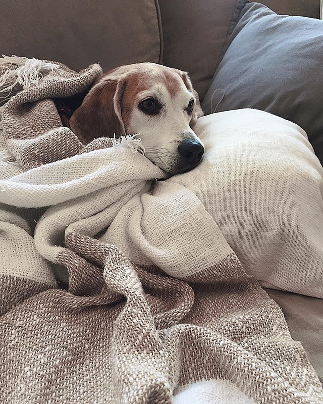 I'm fine being forever covered in dog hair as long as I get to see THAT face 🐶💕 #studiobuddy // Am i right or what?! . . . #liminalme #puppy #beagles #dogworld #dogsforlife #mypooch #mydogiscutest #dogsworld #puppylove #doglover #doggylove #dogsdaily #dogsofinstaworld #ruffpost #pupfluencer #thewoofdaily #adorablepuppy #ilovemypuppy #puppyfun #puppyoftheday #puppylife #puppiesofig #puppersofinstagram #puppiesforall #petsofinsta #furfriends #petoftheday #dailyfluff #dailydoseofcute via @preview.app