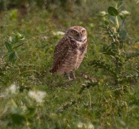 Burrowing owl photo by Jamie Simo of the  New Colorado Naturalist  blog.