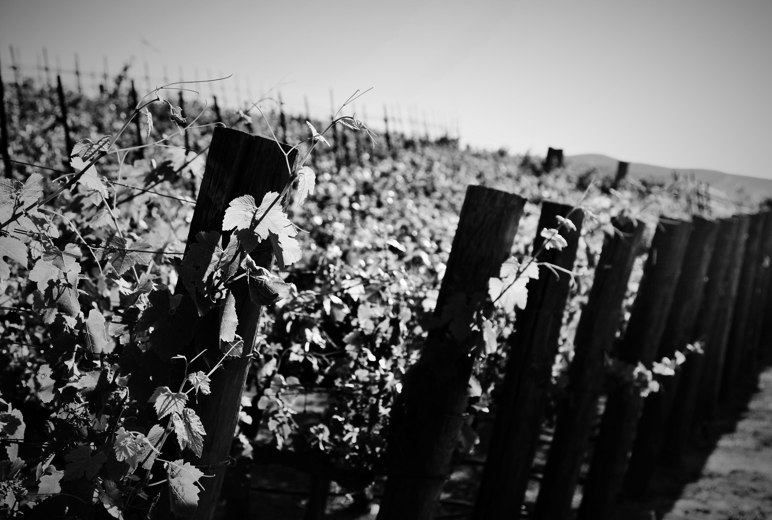 Los Angeles Syrah Rows