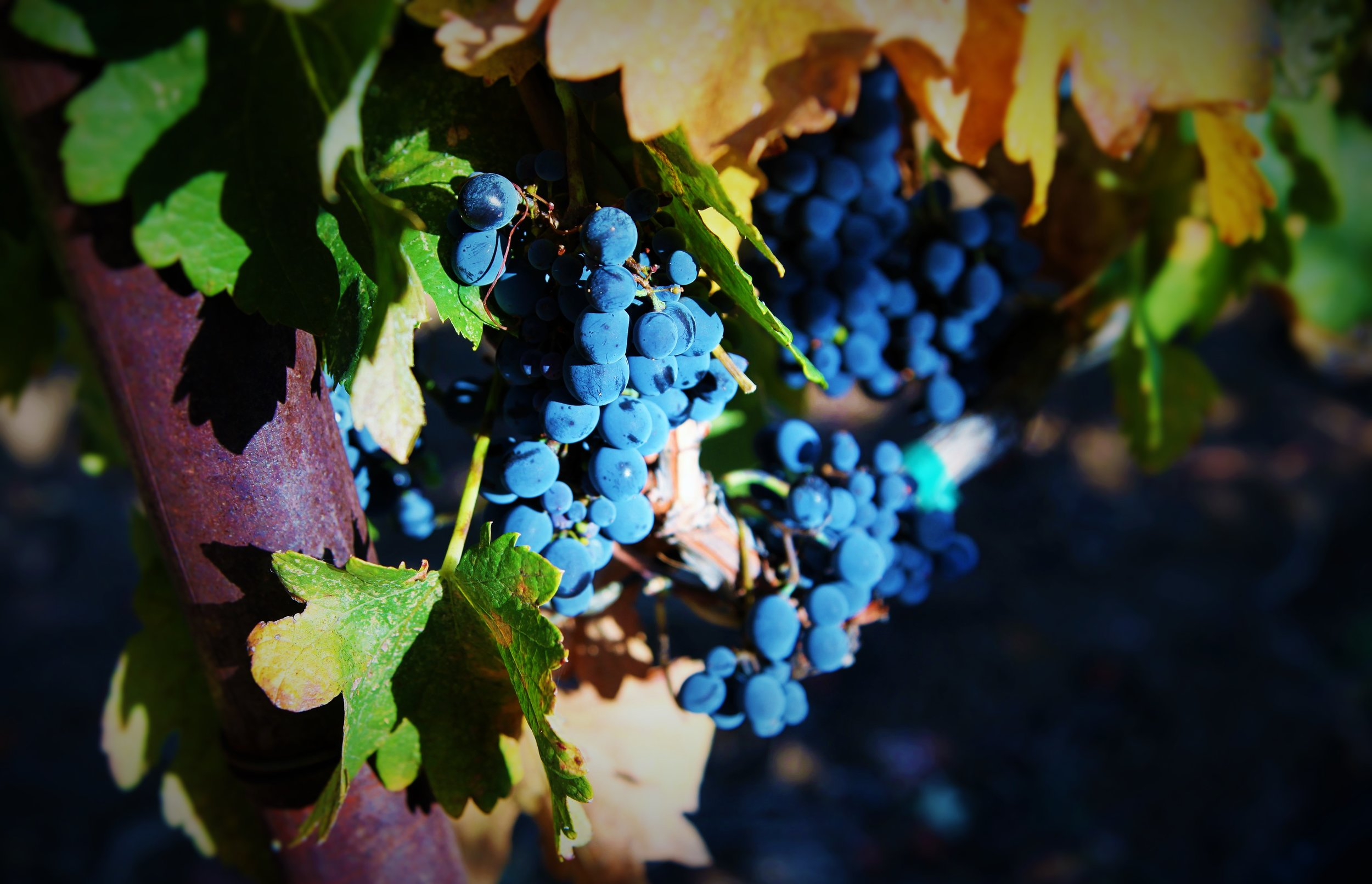 Alonso Syrah Clusters.JPG