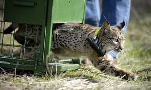 A-lynx-born-in-captivity--009.jpg