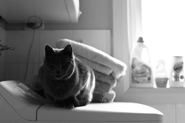 Just giving the people what they want: pictures of cats. 🐱 . #cat #catsofinstagram #russianblue #photogram #monochromatic #monochrome #photography #sunlight #shadow