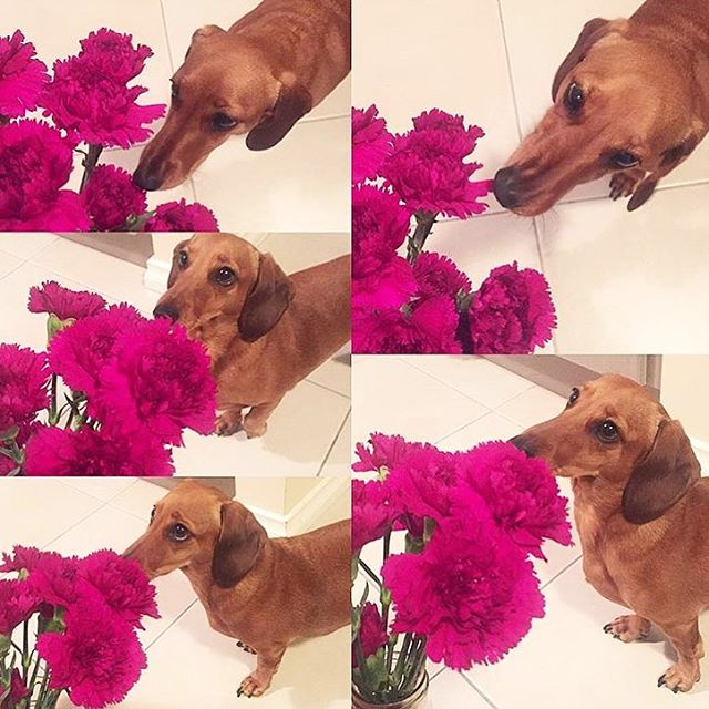 Repost @kriddys_styled_ways 👏🏼 'Ally always loves to inspect the flowers I bring home from @theflowermarketperth needless to say they were a big hit!' 🌸🐶
