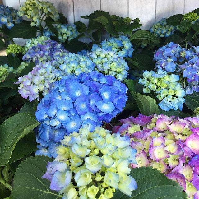 Local grown Hydrangea plants 🙌🏼