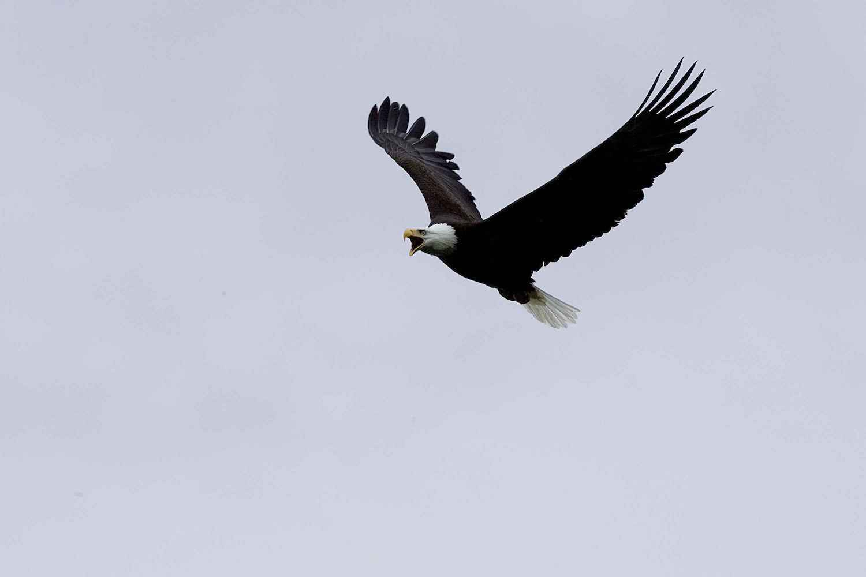 bald-eagle.jpg
