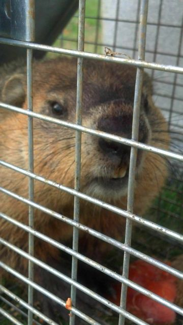 apex-wildlife-de-groundhog.jpg