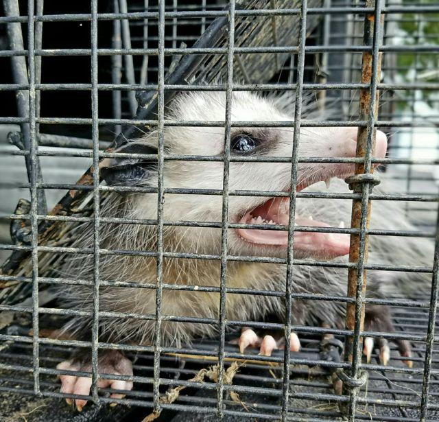 apex-wildlife-de-opossum.jpg