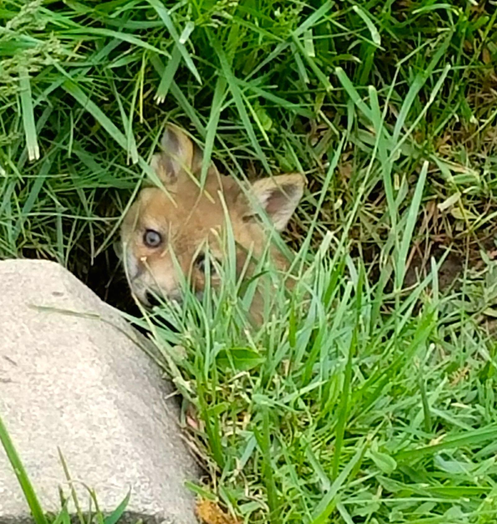 Baby Fox.jpg