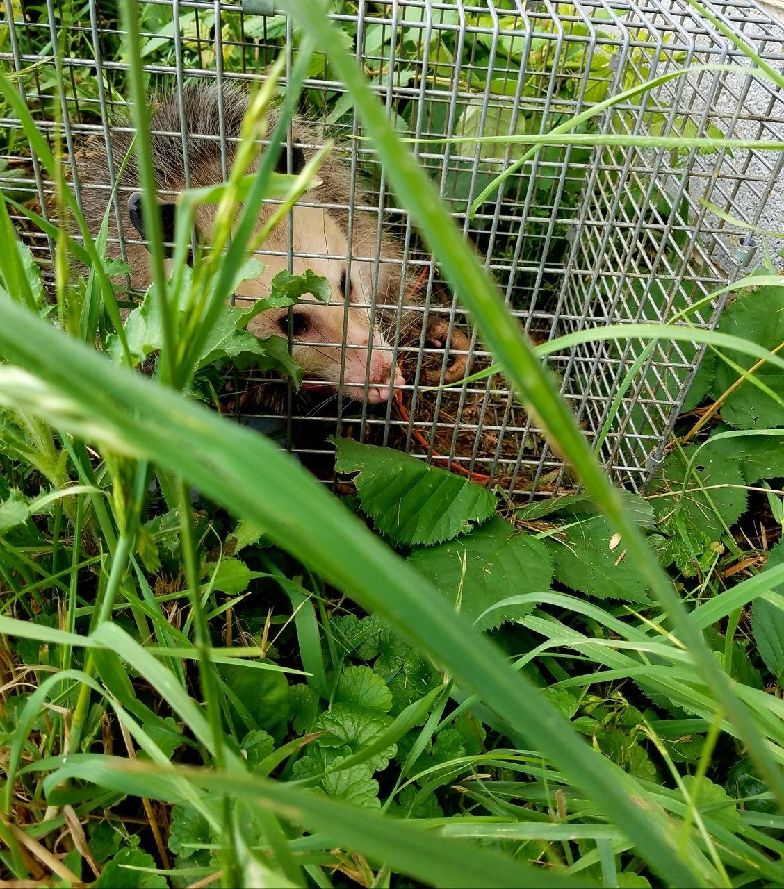 opossumweeds.jpg