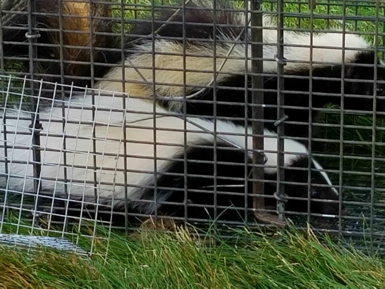 twin skunks.jpg