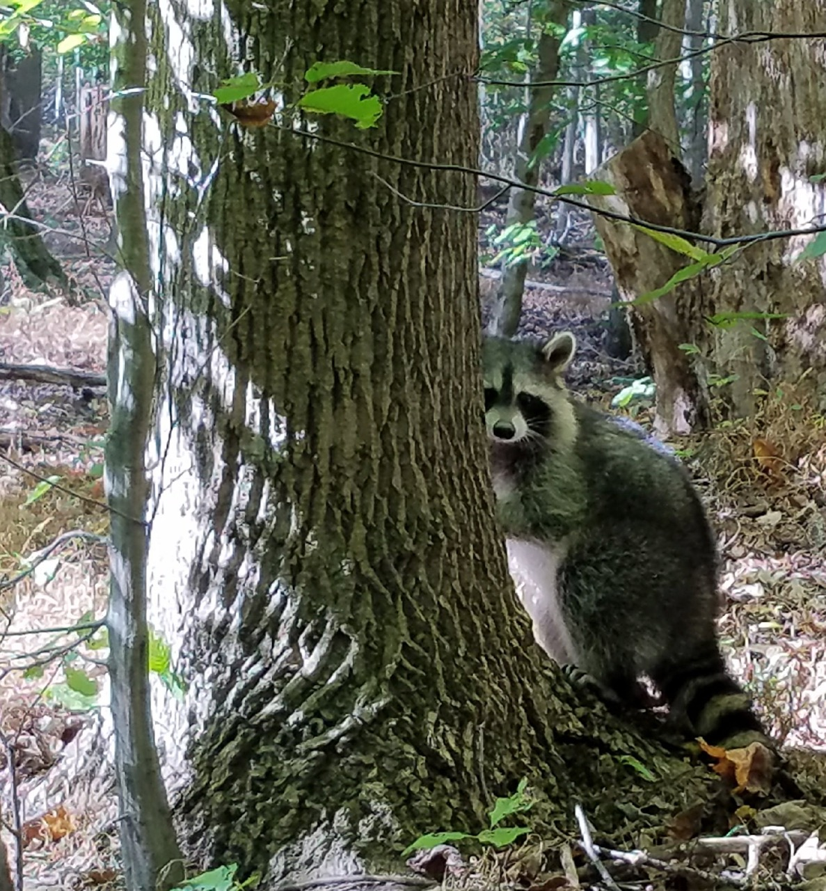 raccoon watching.jpg