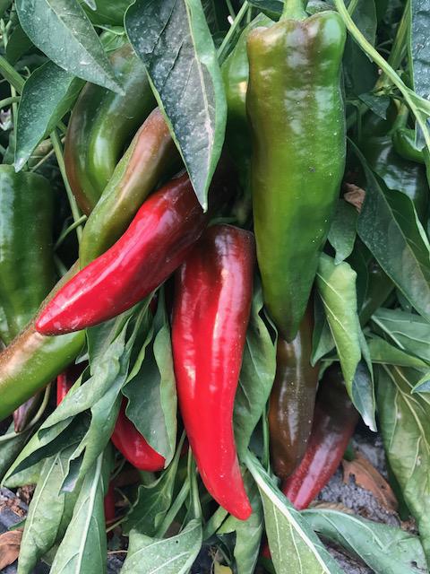 Italian Frying Peppers.jpg
