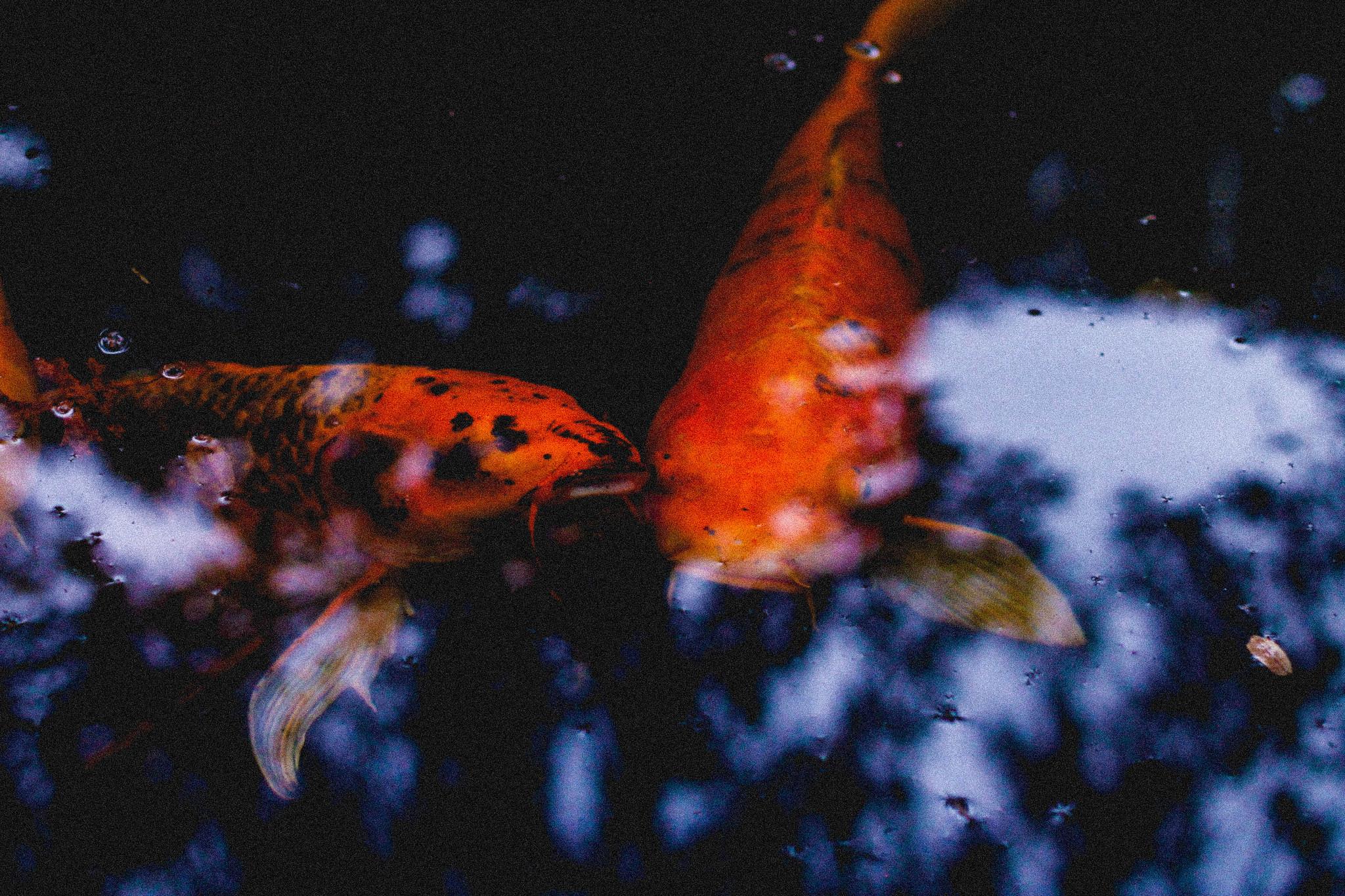 Austin Botanical Gardens // Koi Fish