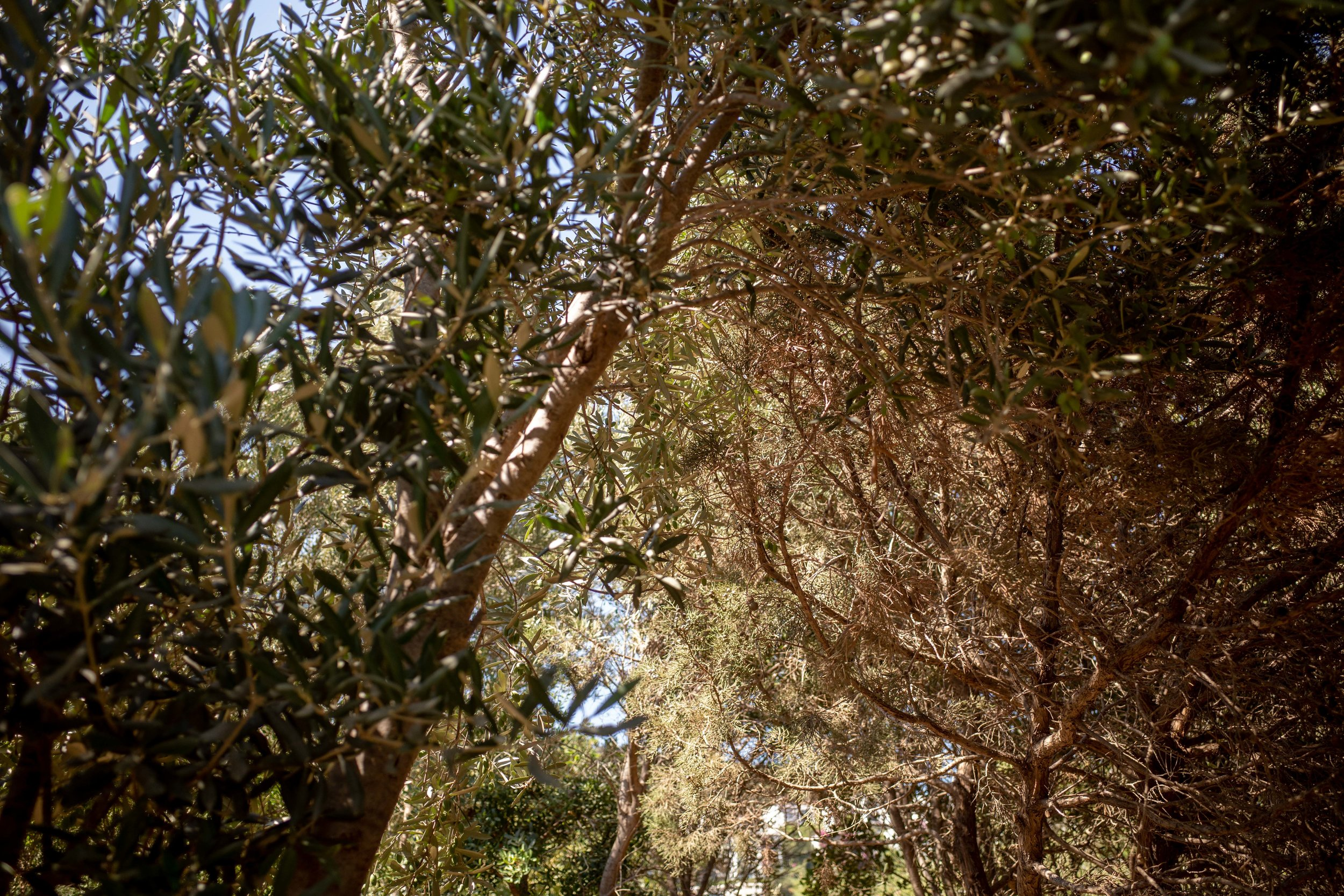 Olive groves everywhere you look.