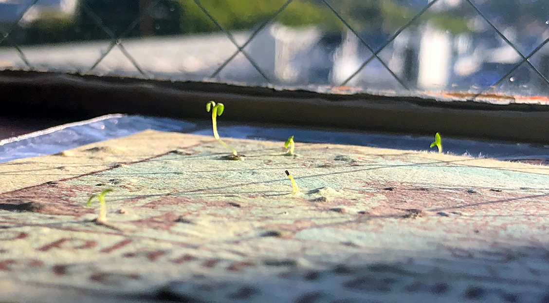 Today a card, tomorrow a garden! Our plantable holiday card germinated in eleven days and continues to grow.