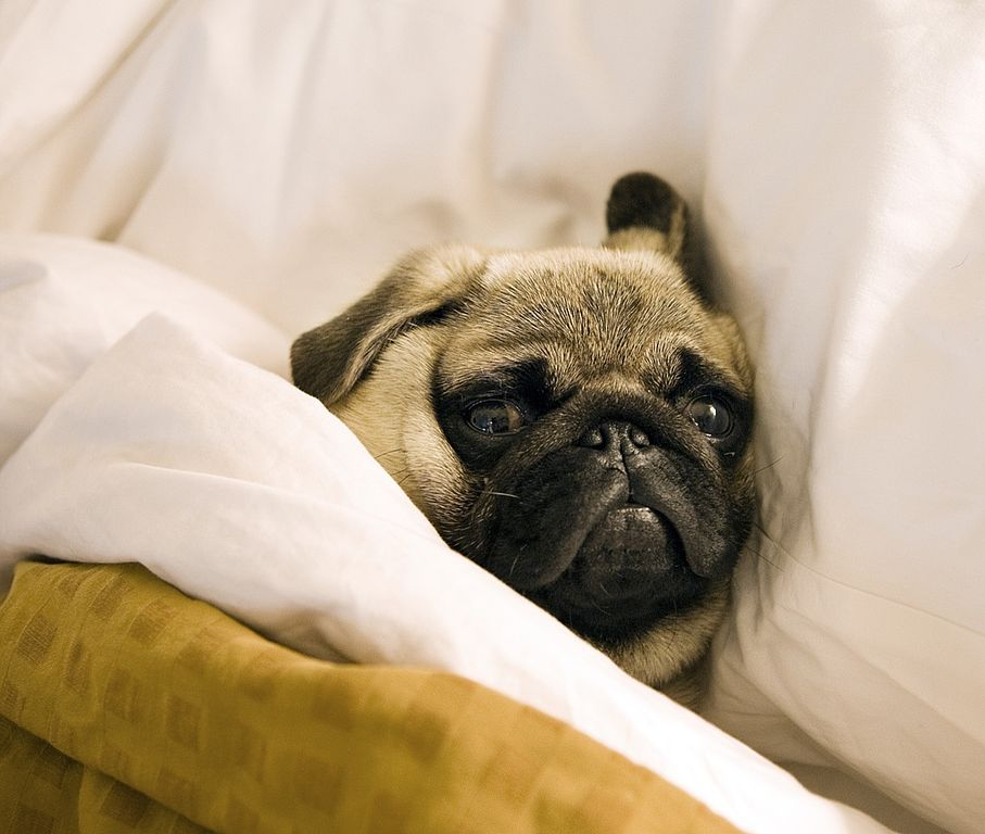 """""""5 more minutes, please!"""" by Christopher Michel  Creative Commons  Attribution 2.0 Generic https://commons.wikimedia.org/wiki/File:Pug_lying_in_bed_with_its_head_on_the_pillow.jpg"""