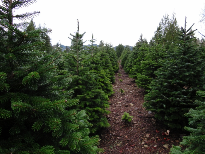 Look at all the baby Christmas trees!