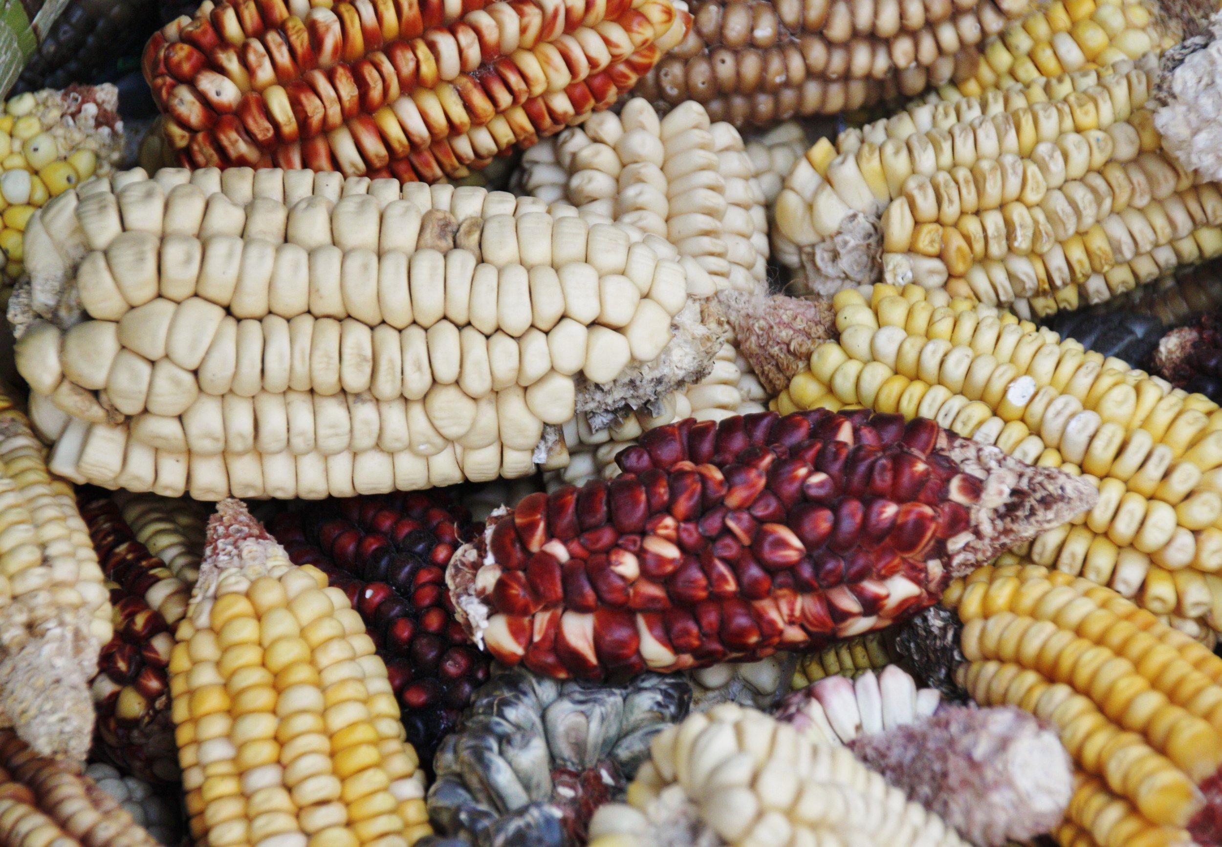 Inca Corn