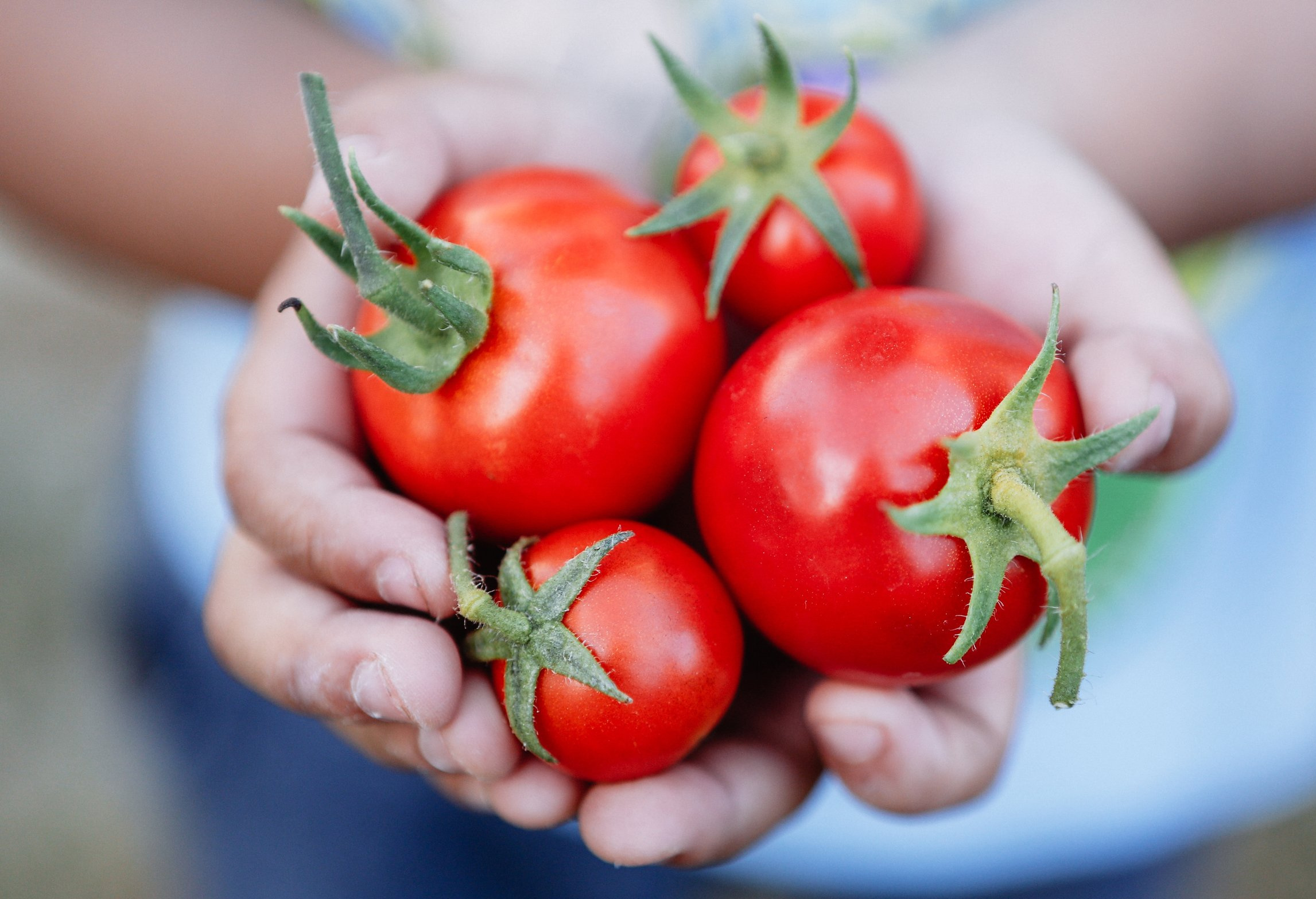 a-handful-of-ripe-sweet-organic-tomatoes-freshly-picked-from-a-home-garden_t20_JYKLKP.jpg