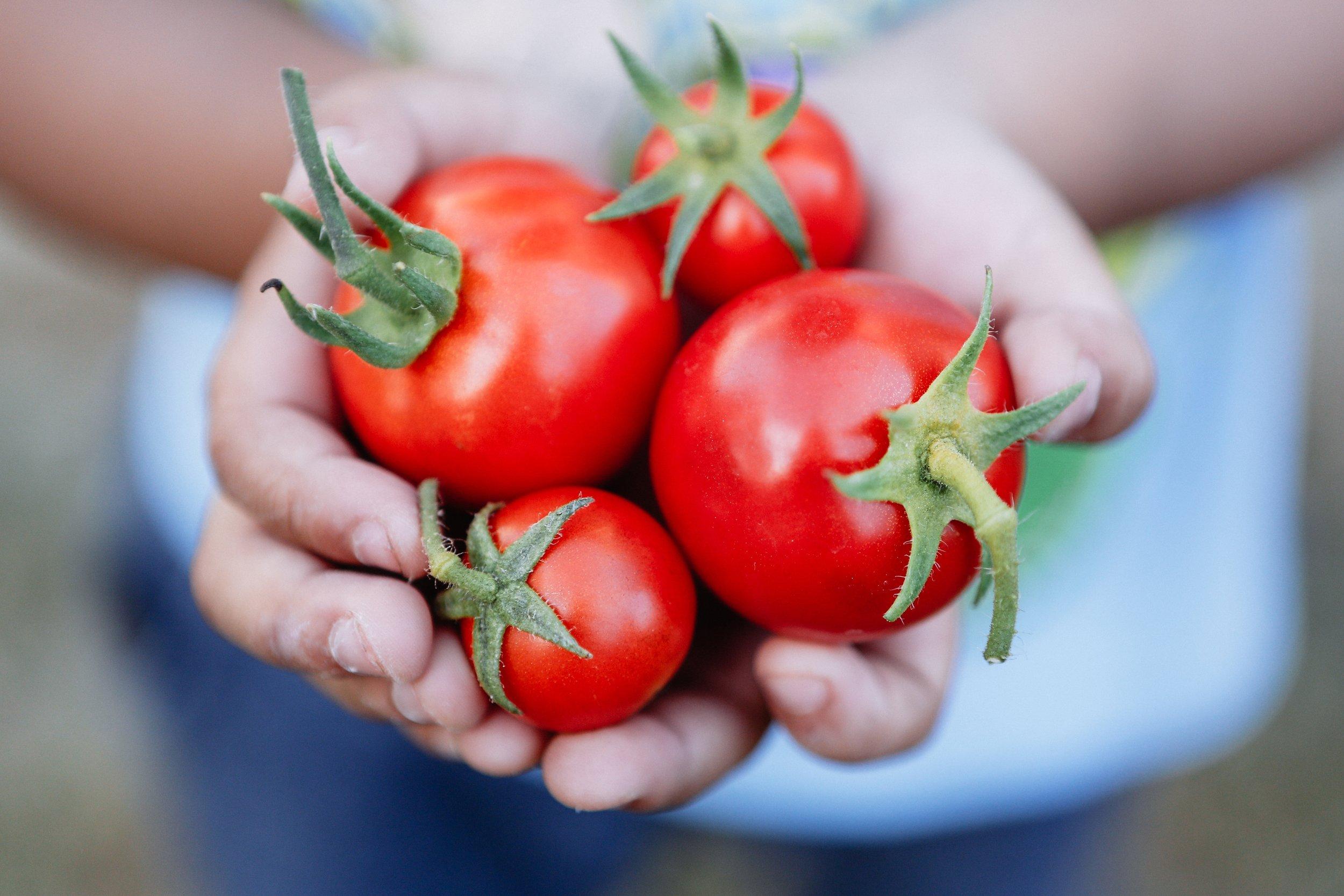 a-handful-of-ripe-sweet-organic-tomatoes-freshly-picked-from-a-home-garden_t20_JYKLKP.jpg