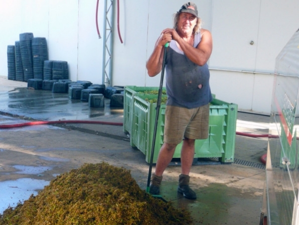 The picking and handling of white grapes is more difficult than for red.