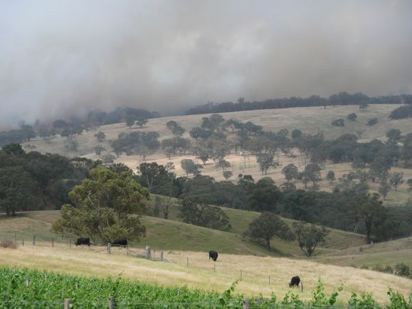 A Metaphor For Our Times: Bloodwood Cows nonchalantly graze below the Schubert oblivious to an approaching bushfire.