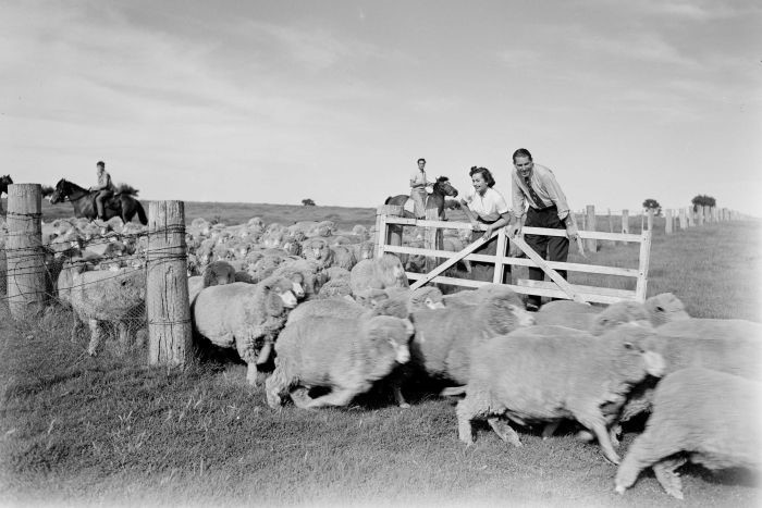 Riding on the sheep's back in the1950s when wool was a pound per pound