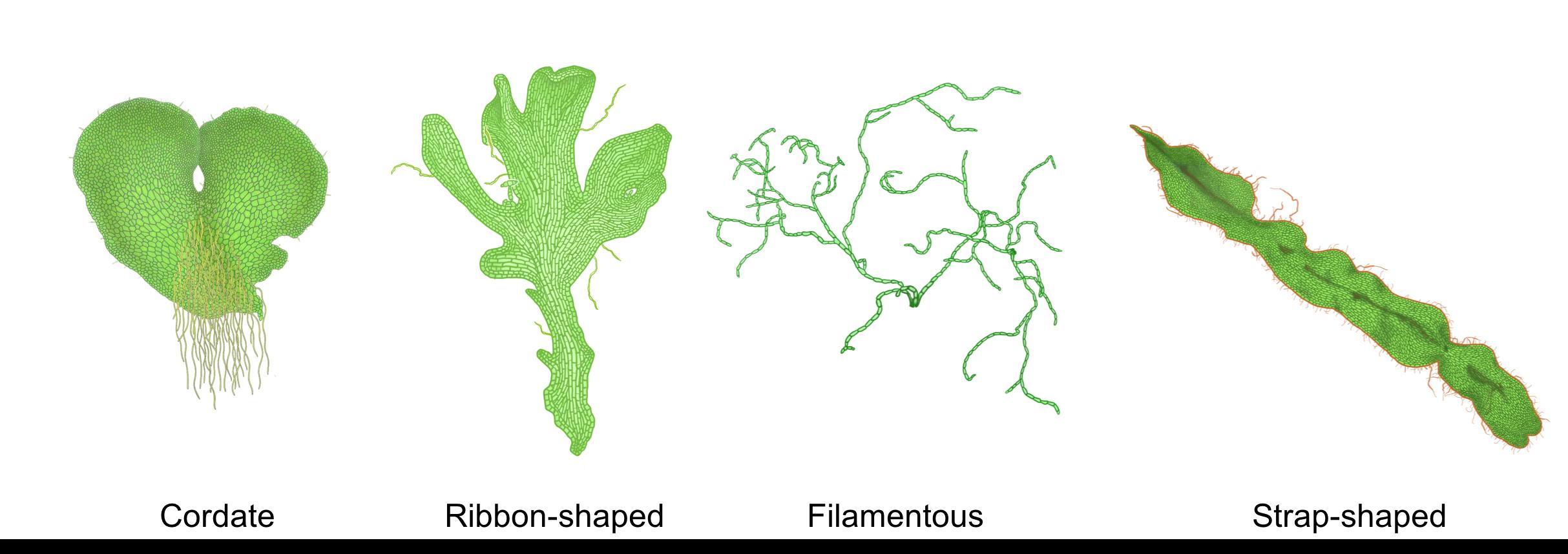 Figure 7. Various morphologies of fern gametophytes (from Pinson et al., 2017 and  Paul K ).