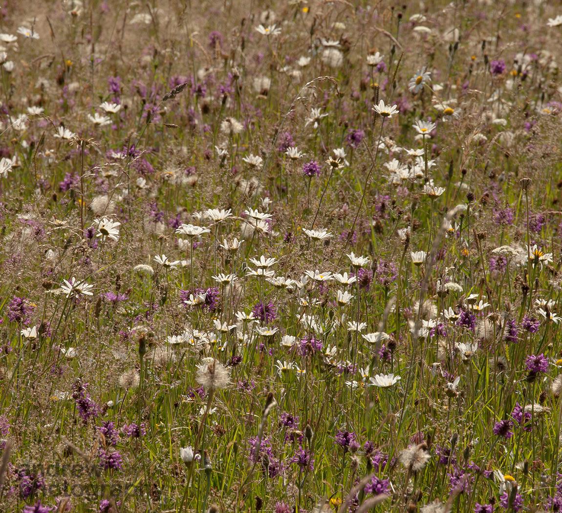 Ox Eye Daisies, Betony, Edford Meadows, Somerset